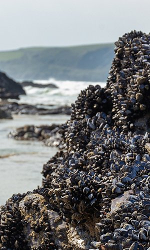 Wild blue mussels, Mytilus edulis, on the rocks in Cornwall, UK